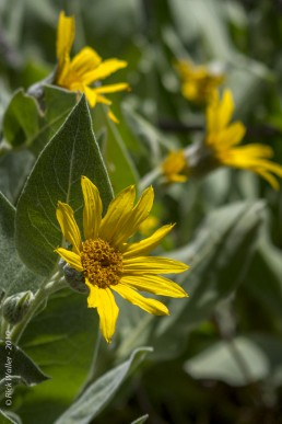 Flowering Mule Ear - Lake Tahoe - HeartWork Photography Accessible Nature Outings - Copyright 2019 Rick Waller