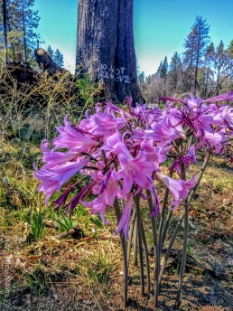 Camp Fire in Paradise CA Outing - Naked Lady flowers - Beauty from Ashes - Copyright 2018 HeartWork Photography