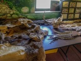 Animal Pelts, Feathers, Skull, and Snake Skins - SSU Fairfield Osborn Preserve - HeartWork Photography Org - © 2019 Jeree Waller