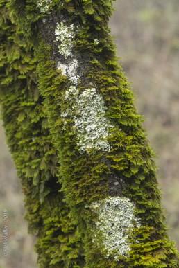 Moss and Lichens on Tree Trunk - SSU Fairfield Osborn Preserve - HeartWork Photography Org - © 2019 Rick Waller
