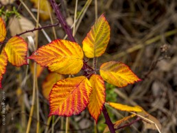 Fall Colors Leaves - SSU Fairfield Osborn Preserve - HeartWork Photography Org - © 2019 Rick Waller