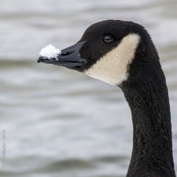 Canada Goose with Snow on Beak - Lake Tahoe - HeartWork Photography Accessible Nature Outings - Copyright 2018 Rick Waller