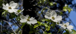 Dogwood Tree in Bloom - HeartWork Photography Accessible Nature Outings - Copyright 2017 Rick Waller